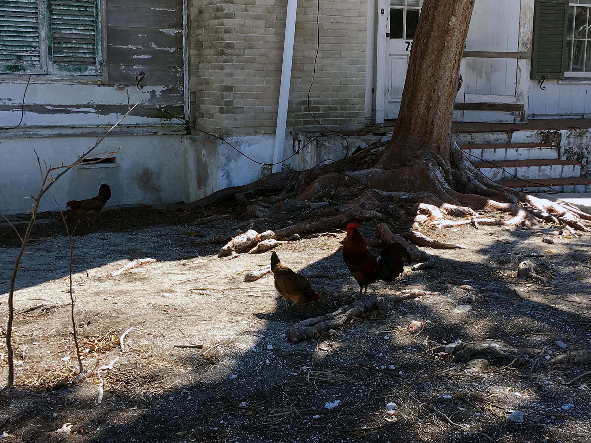 Generic Van Life - Key West Roosters