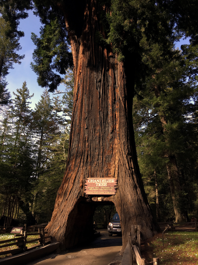 Generic Van Life - Northern California Drive Thru Tree