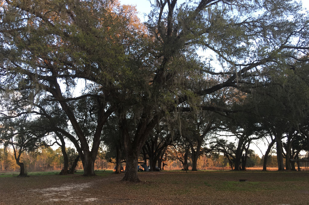 Generic-Van-Life-Camping-Green Swamp West Tract – Ashley-Florida-United-States-view of the tree